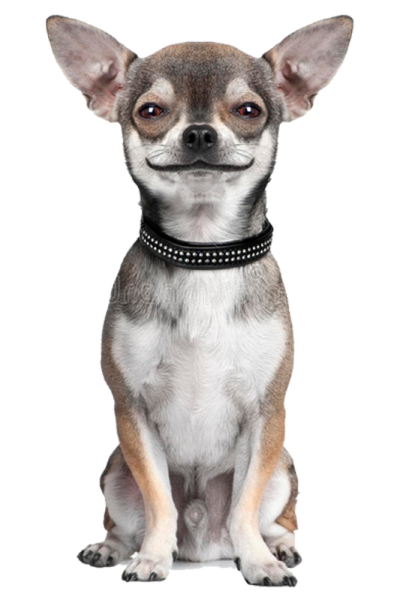 One-on-One Chihuahua