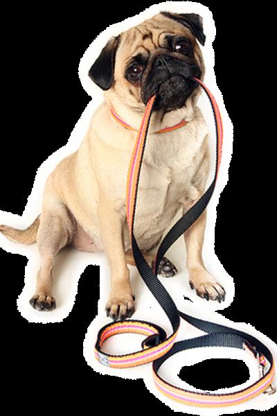 Walk-Train Pug